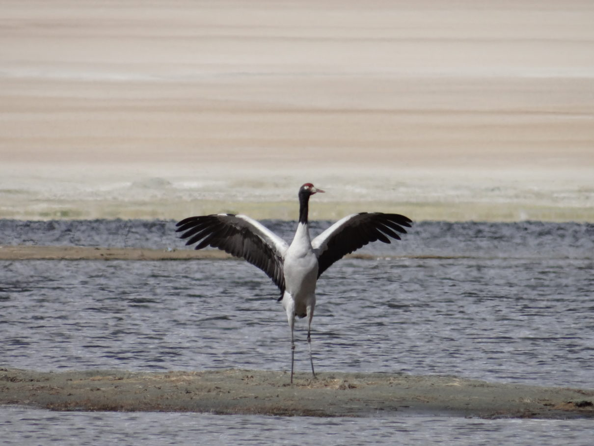 Black neck crane at Tsokar lake -Go2ladakh