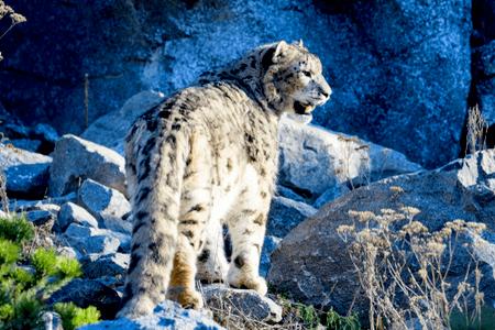 snow leopard go2ladakh.in